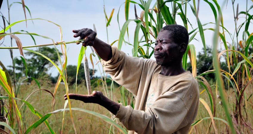 L'évaluation d'épis de mil en champ paysan fait partie du Programme ASBP